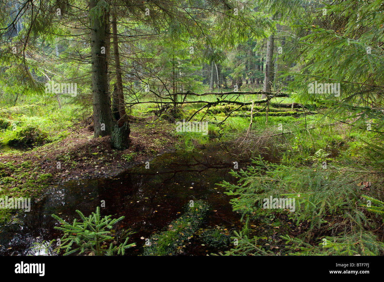 Autumnal look of swampy stand with little river flowing among spruces - Stock Image
