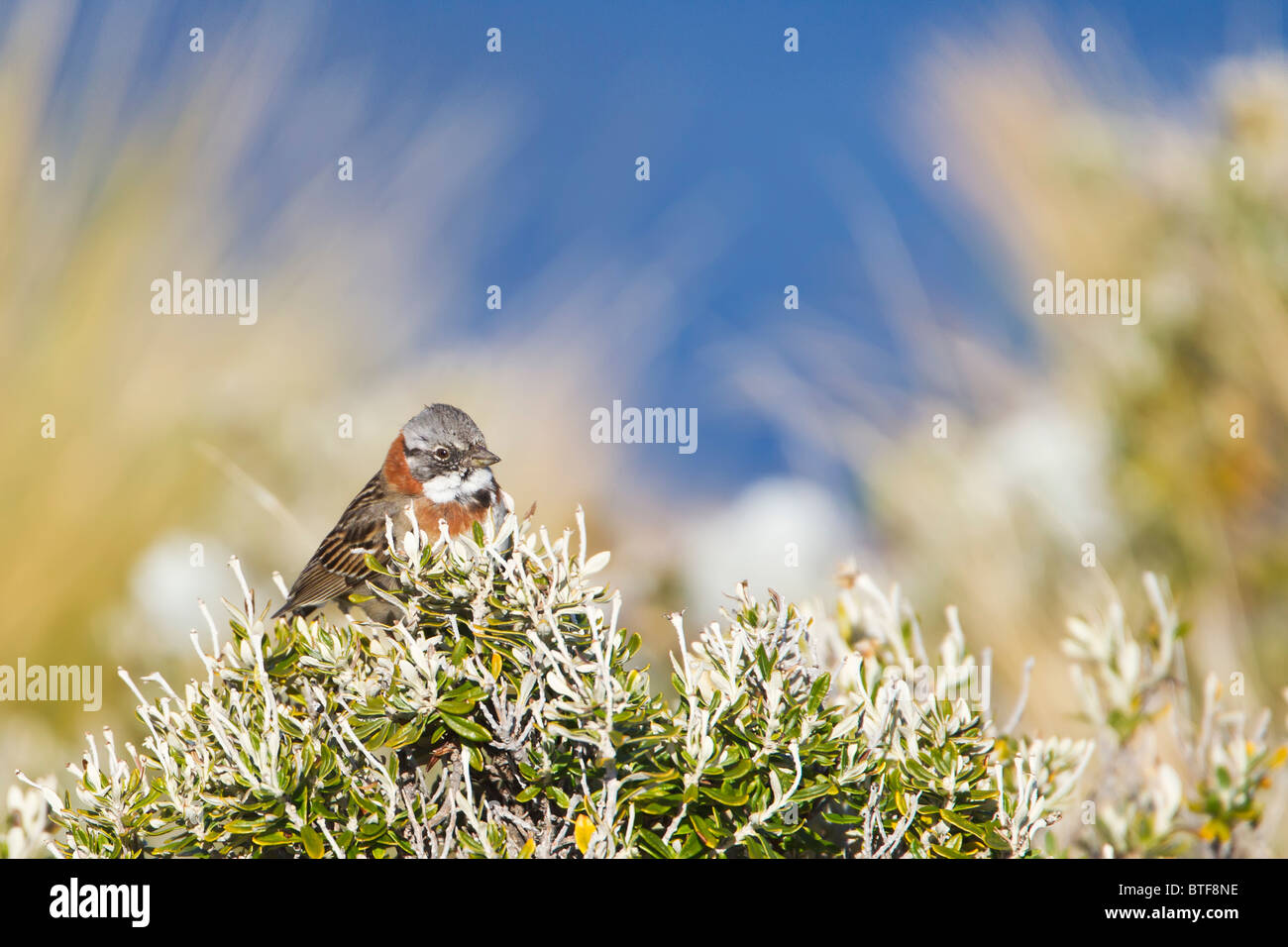 Rufous Collared Sparrow (zonotrichia capensis) perched on a shrub, spring time Tierra del Fuego Argentina Stock Photo