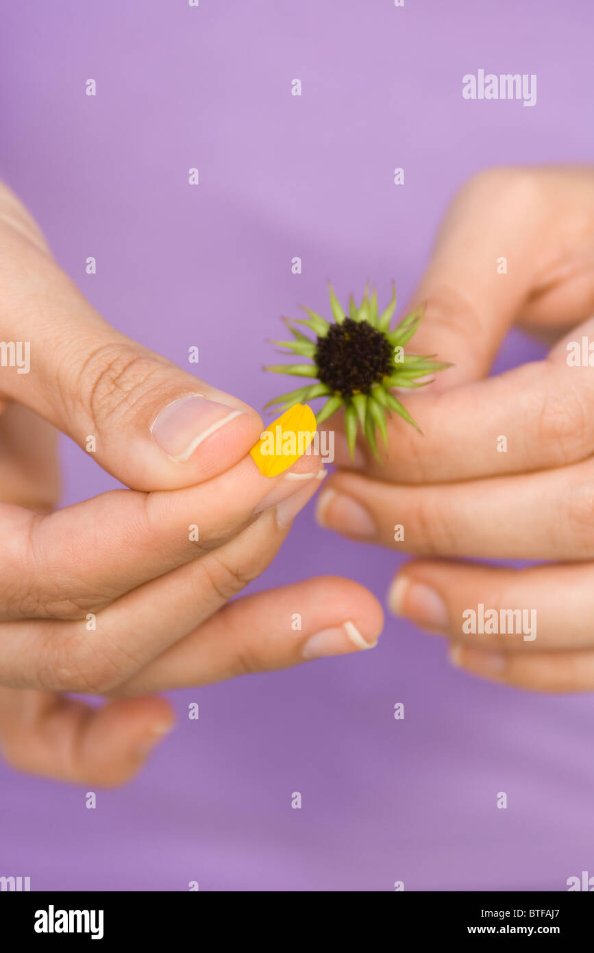 Picking petals from flower - Stock Image