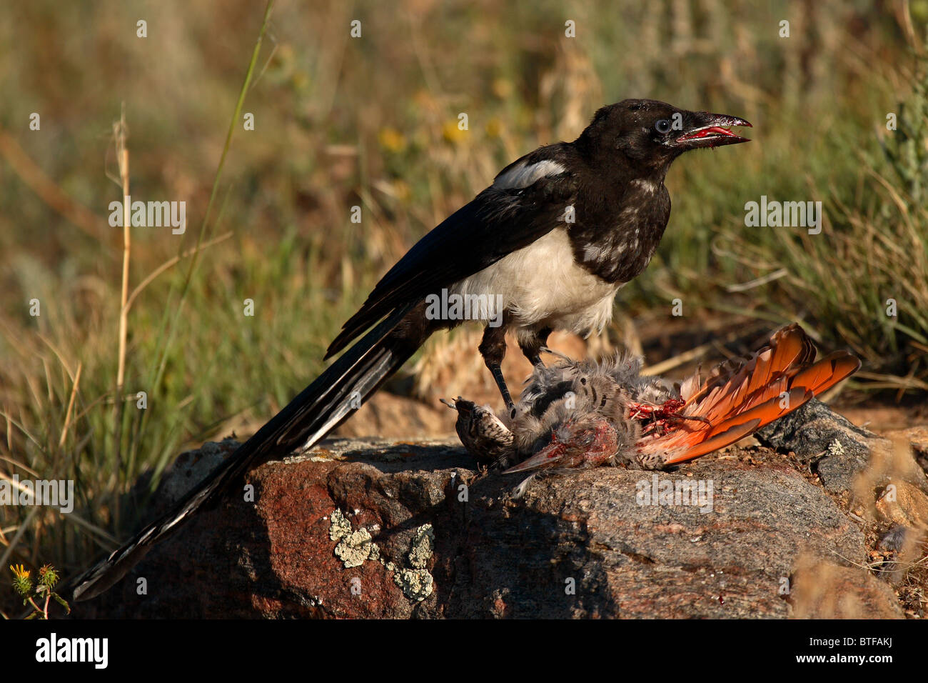 A Black-billed Magpie eating a Northern Flicker in Colorado. - Stock Image