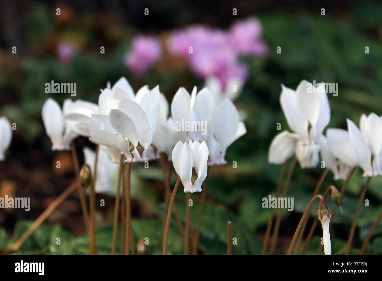Pink and white flowers of cyclamen hederifolium surrey england uk pink and white flowers of cyclamen hederifolium surrey england uk mightylinksfo