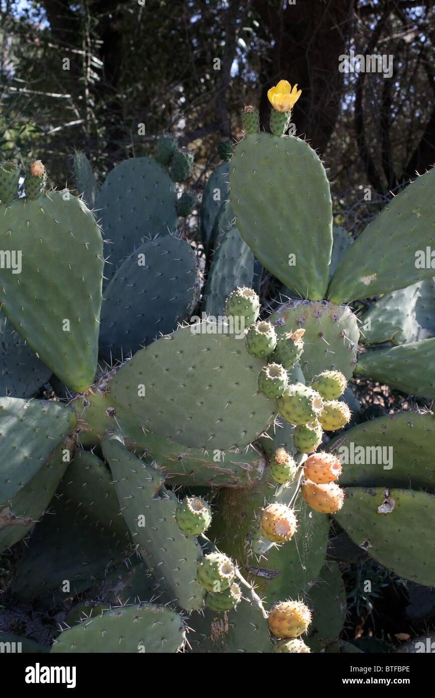 Prickly Pear Cactus (Opuntia Robusta) Stock Photo