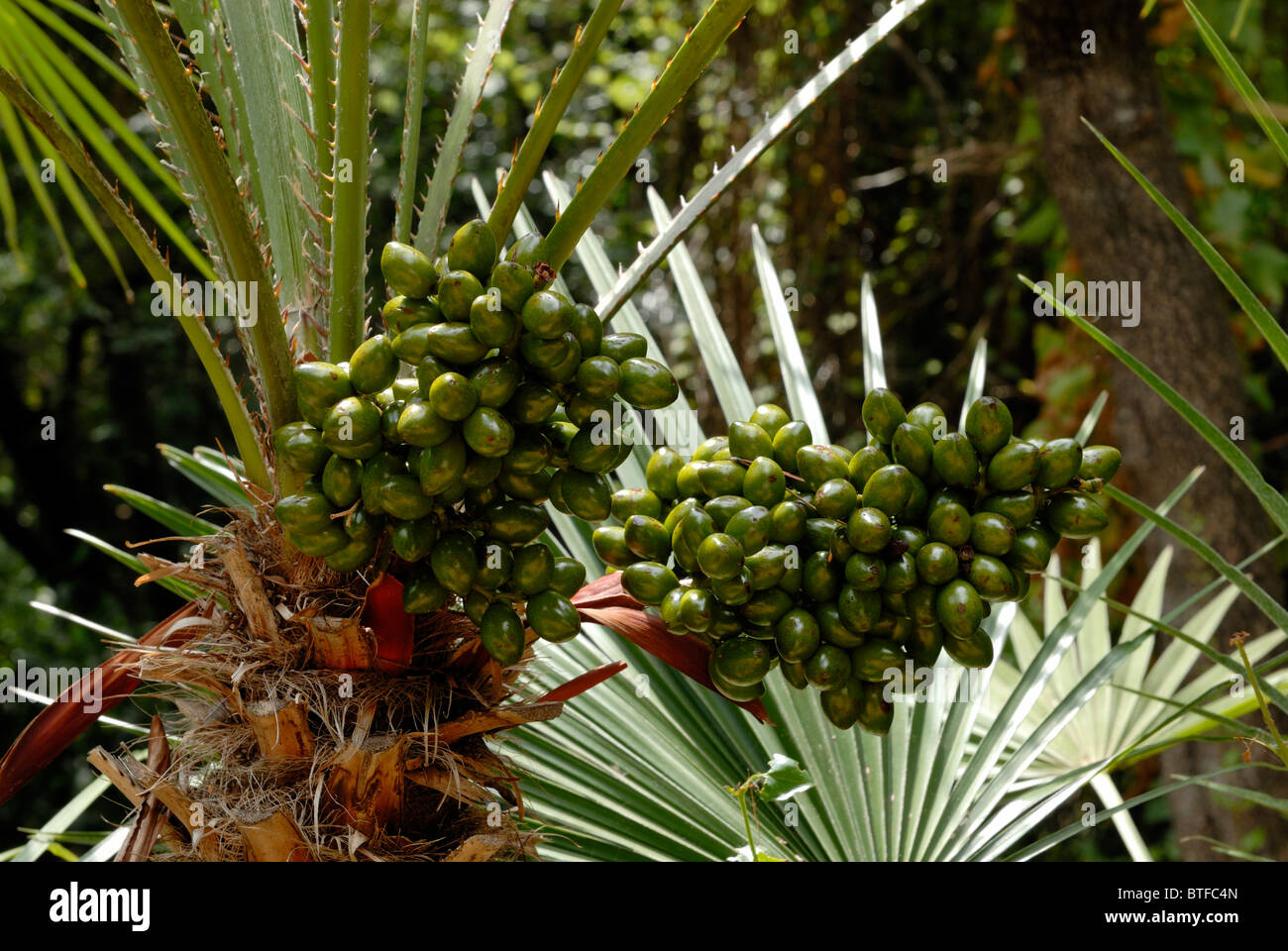 A fine view to the exotic plants of the Cloister Garden in the Nature Reserve of the Lokrum Island. The Benedictine - Stock Image