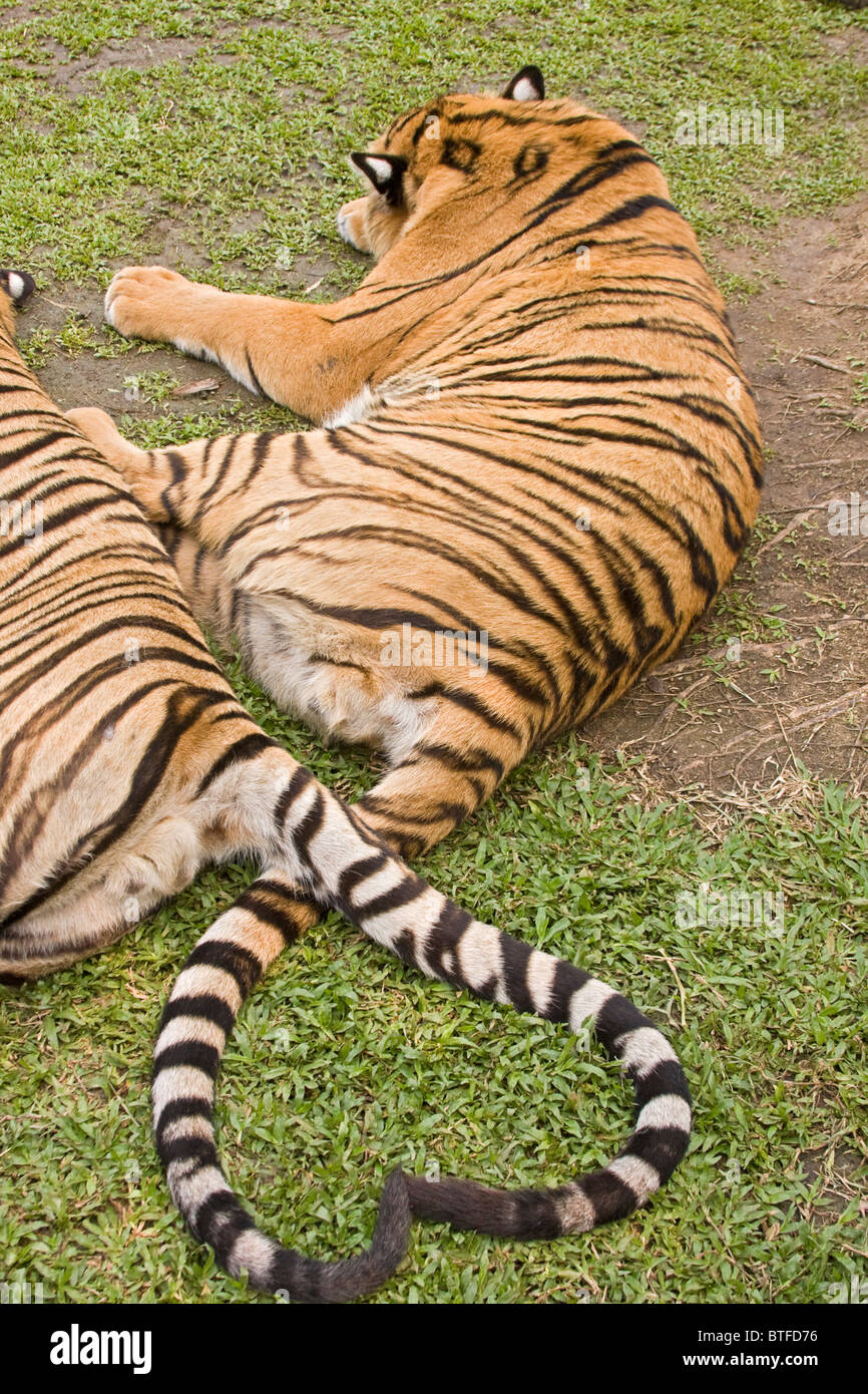 Tiger tails form a heart at Tiger Kingdom, a tourist facility where visitors can pet and interact with tigers under - Stock Image