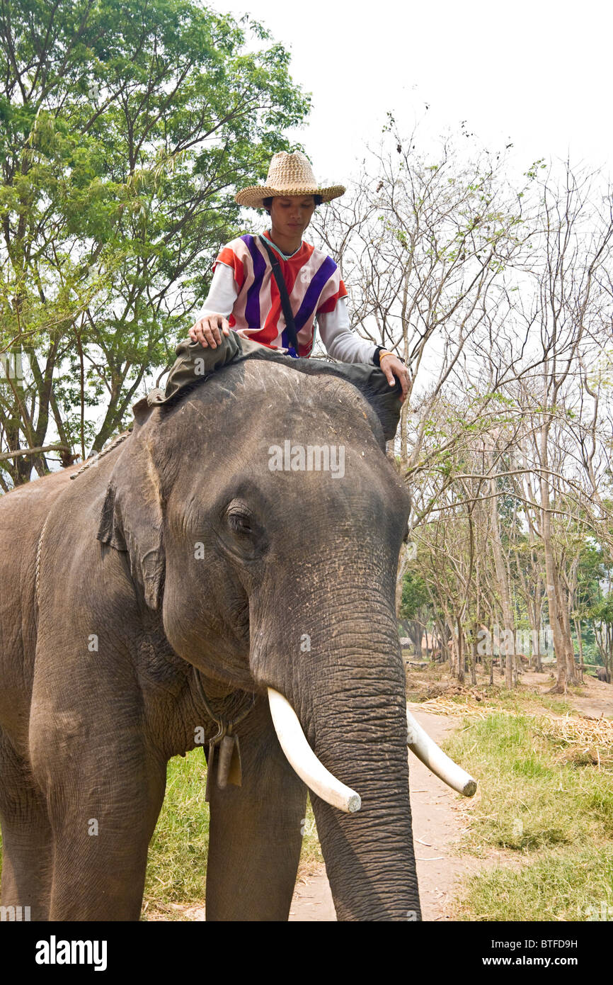 Mahout rides an elephant in Chiang Mai, Thailand, sitting just behind the elephant's head - Stock Image