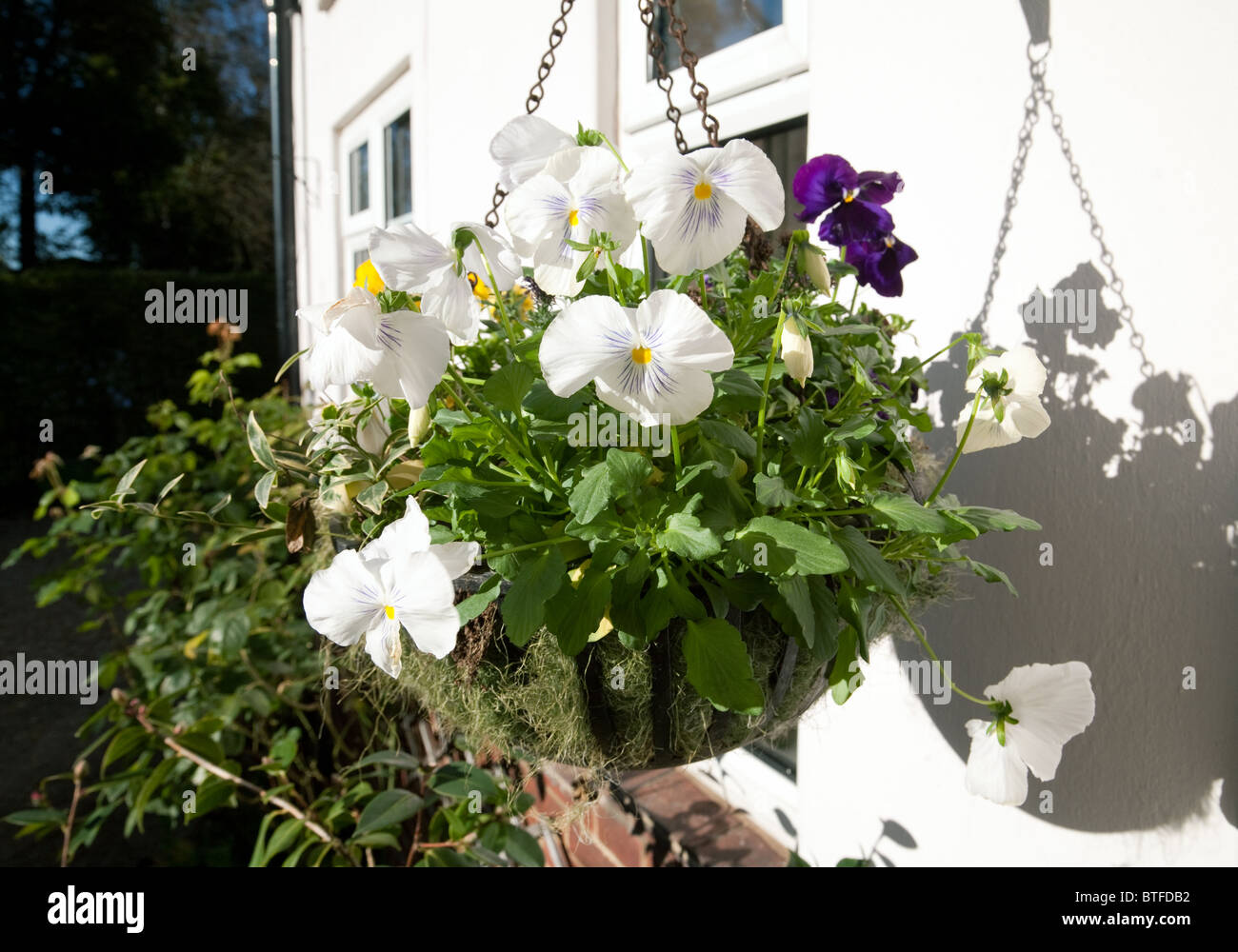 A winter hanging basket containing white and purple pansies on  a house in Suffolk, UK - Stock Image