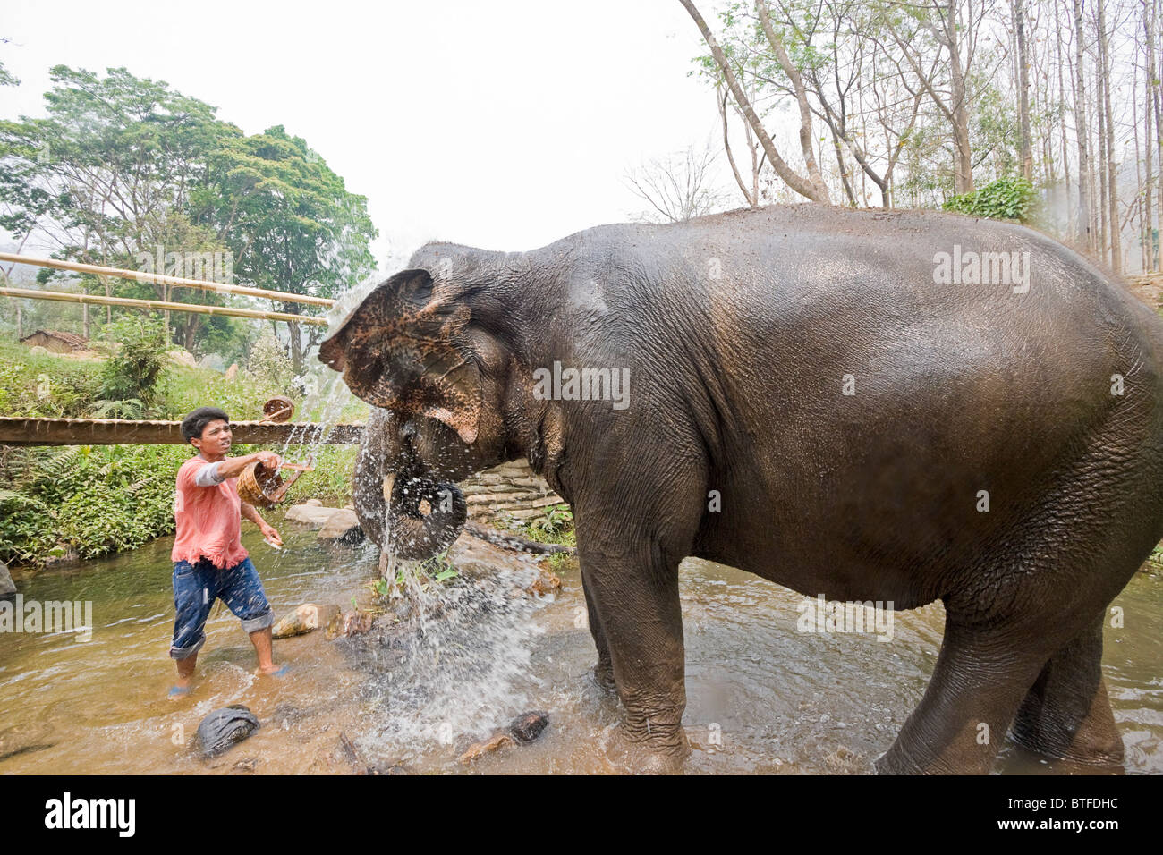 Mahout washes elephant at Patara, a rescue program in Thailand where visitors can 'own' an elephant for - Stock Image