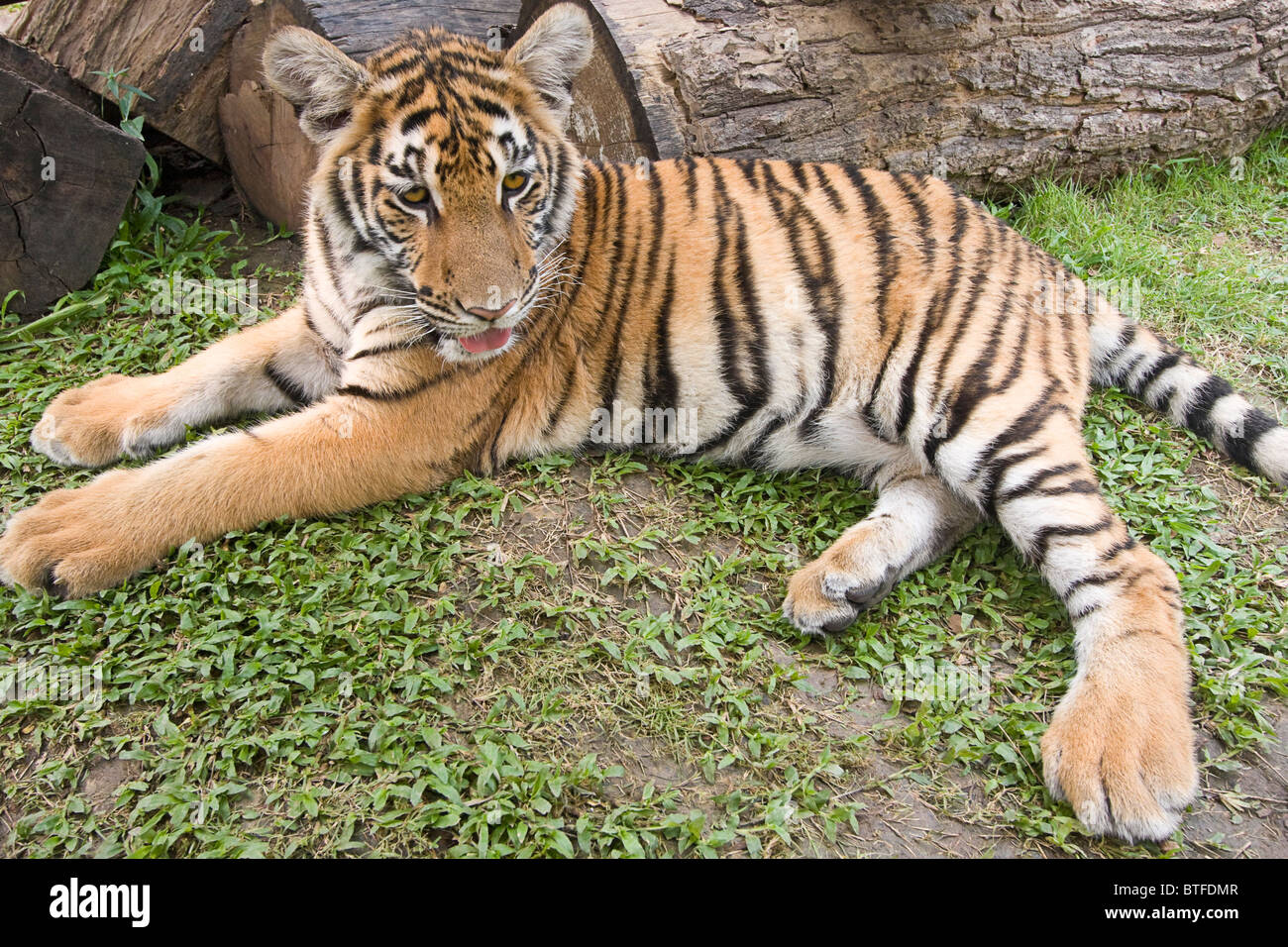 Six-month-old tiger cub. These are Indochinese tigers, called Corbett's tiger, a subspecies found in Southeast - Stock Image