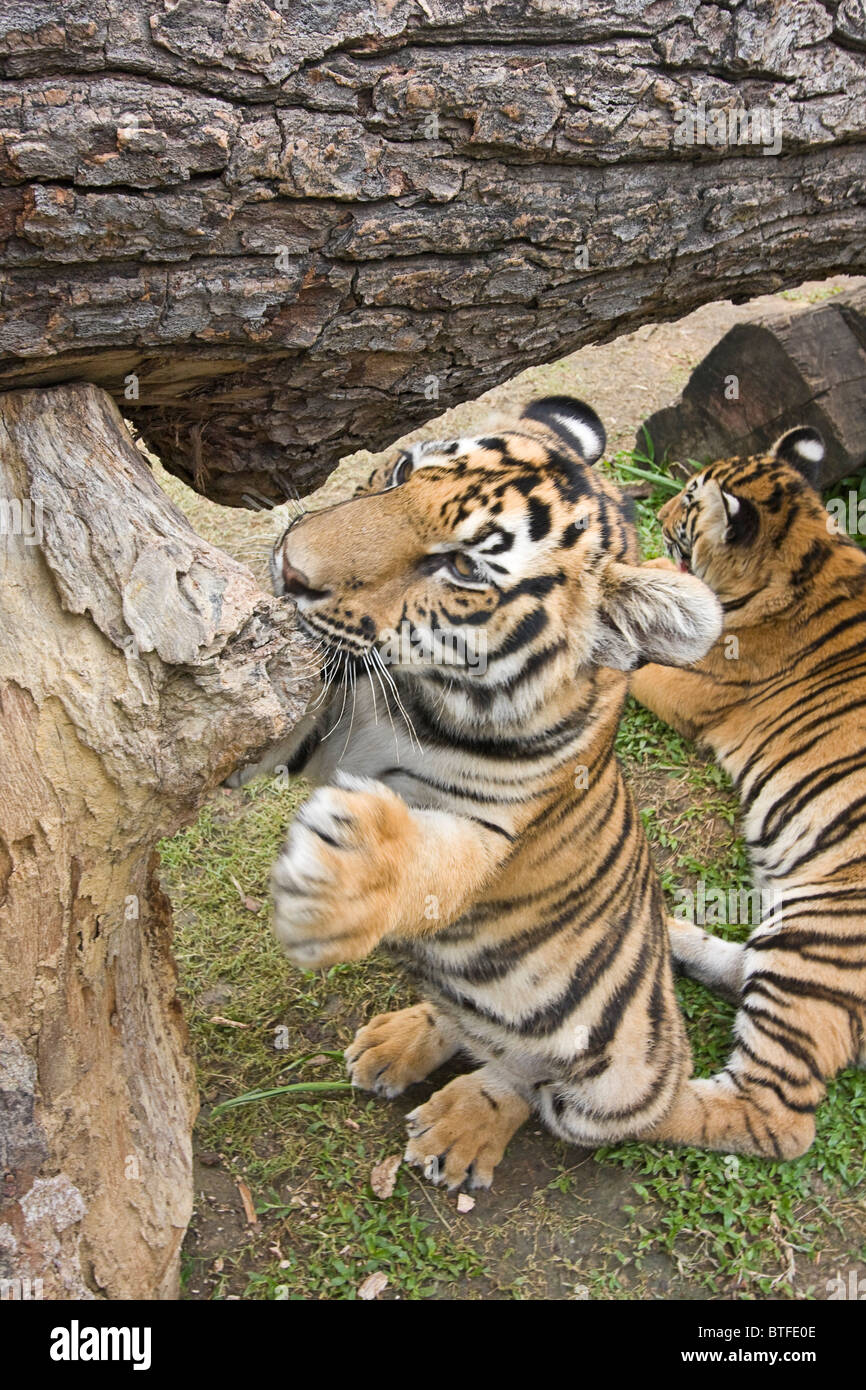 Six-month-old tiger gnaws on wood. These are Indochinese tigers, called Corbett's tiger, a subspecies found - Stock Image