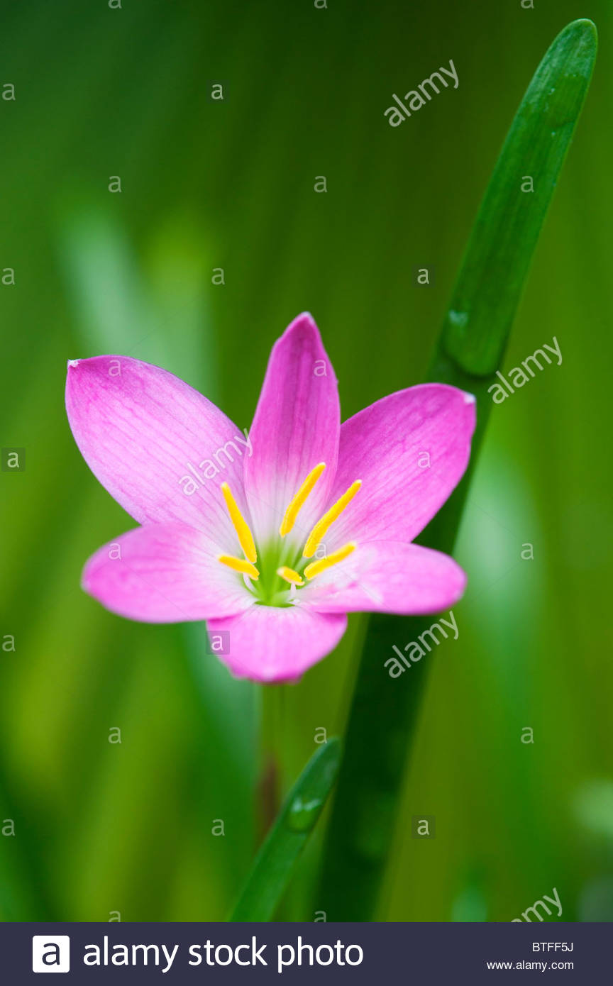 Magic lily stock photos magic lily stock images alamy zephyranthes grandiflora rosepink rain lily flower india stock image izmirmasajfo