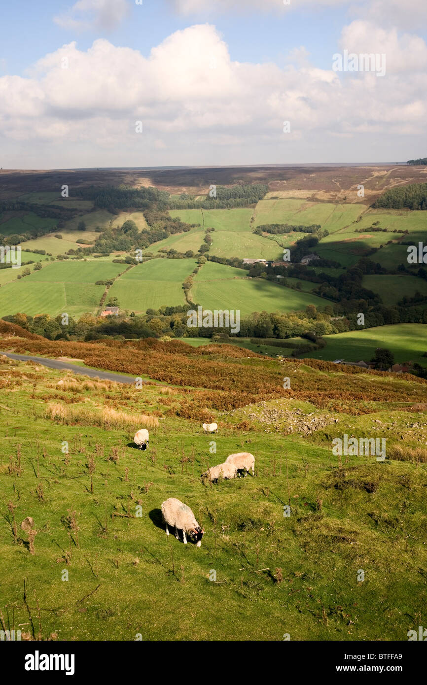 Sheep grazing at Rosedale in The North York Moors National Park North Yorkshire UK - Stock Image