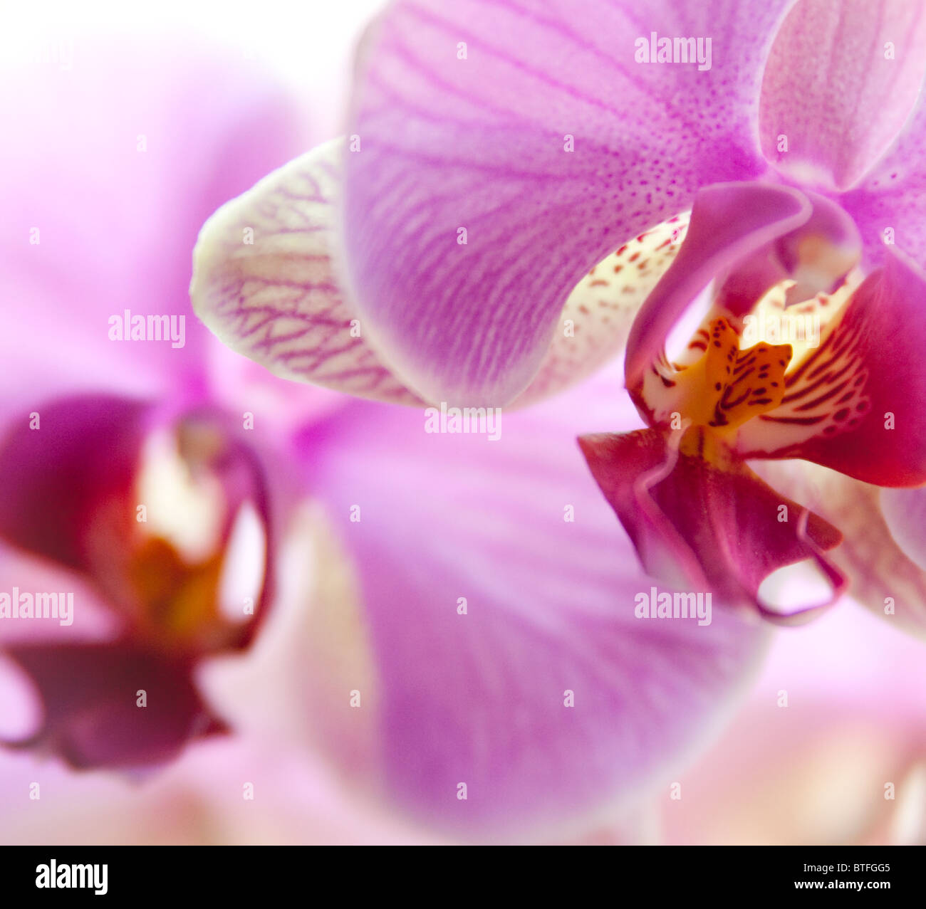Couple of pink and white orchids on white blurred background. - Stock Image