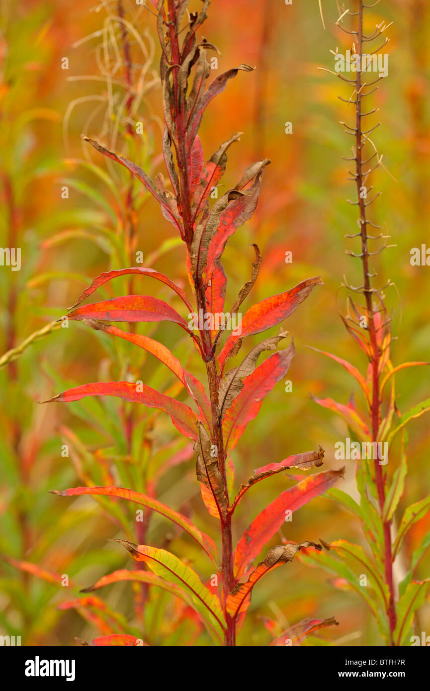 ROSE BAY WILLOW HERB late autumn colours Stock Photo