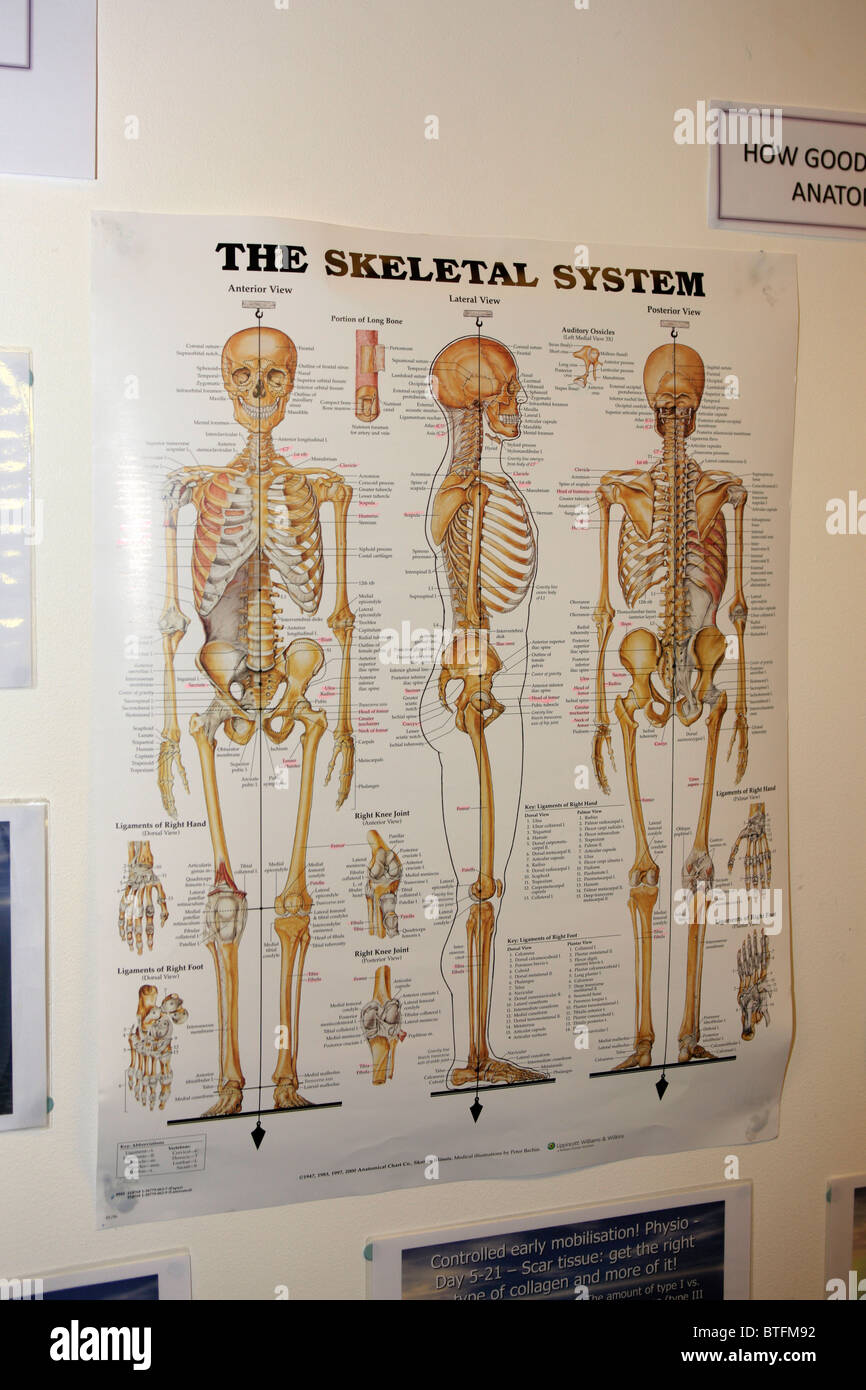 a wall chart showing the skeletal system of the human body