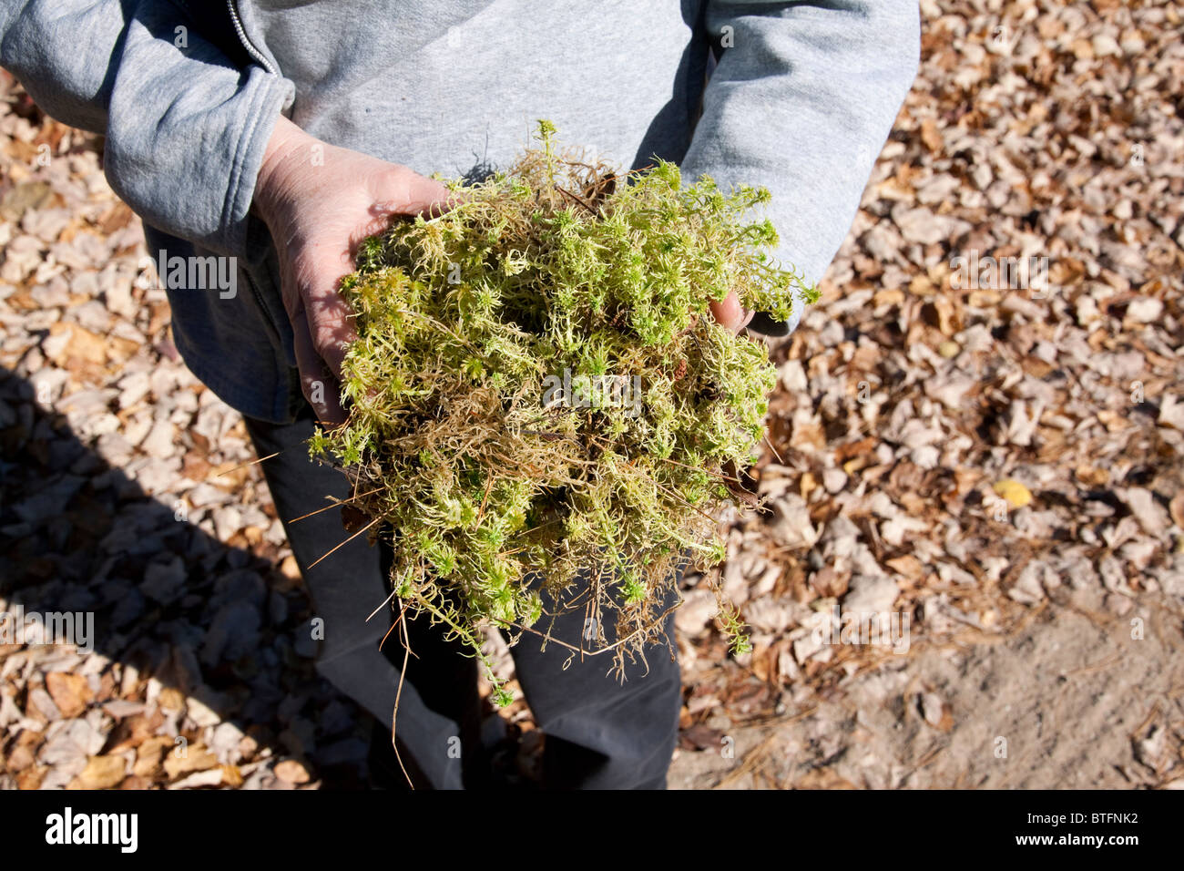 Person holding Sphagnum Moss Northern Michigan USA - Stock Image