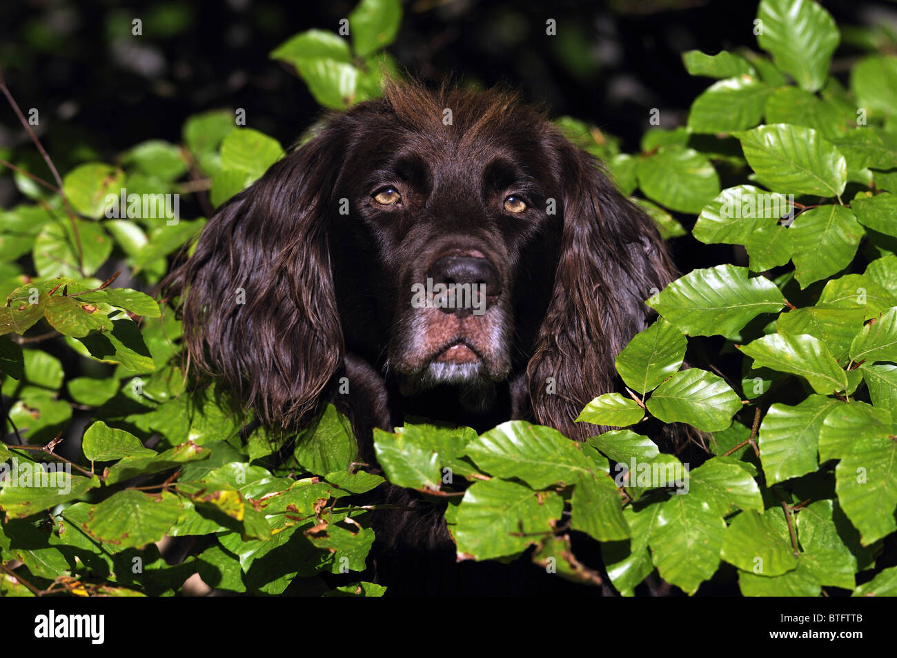 German Long-haired Pointer (Canis lupus familiaris),. Portrait of brown male looking through Beech leaves. - Stock Image