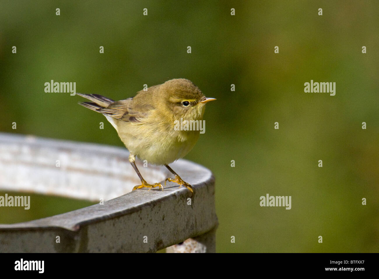 Chiffchaff standing on metal cattle feeder Stock Photo