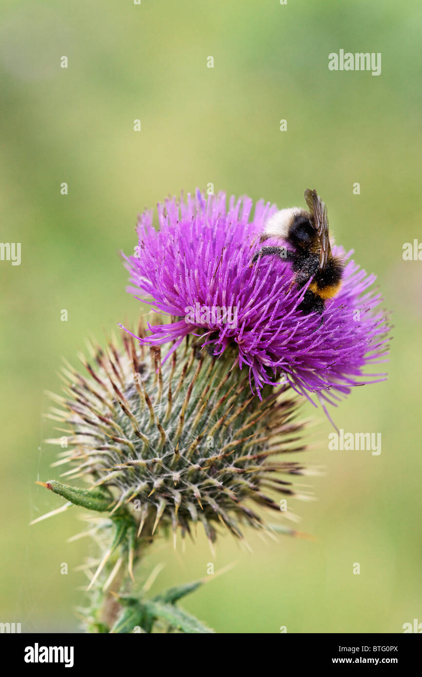 Cotton Thistle. Onopordon acanthium. With feeding buff-tailed bumblebee. Bombus terrestris - Stock Image