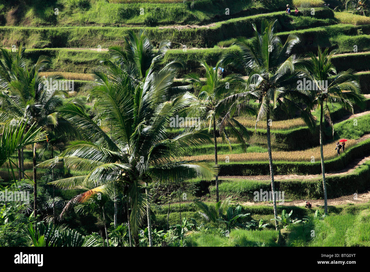 Indonesia, Bali, Tegallalang, rice fields, landscape, - Stock Image