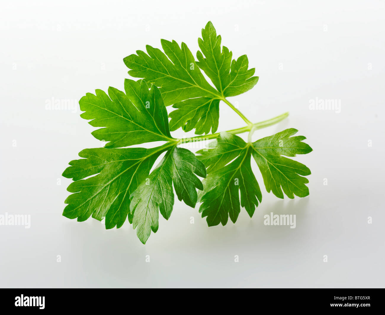 Top shot of Flat leaved parsley herb leaf against a white background for cut out - Stock Image