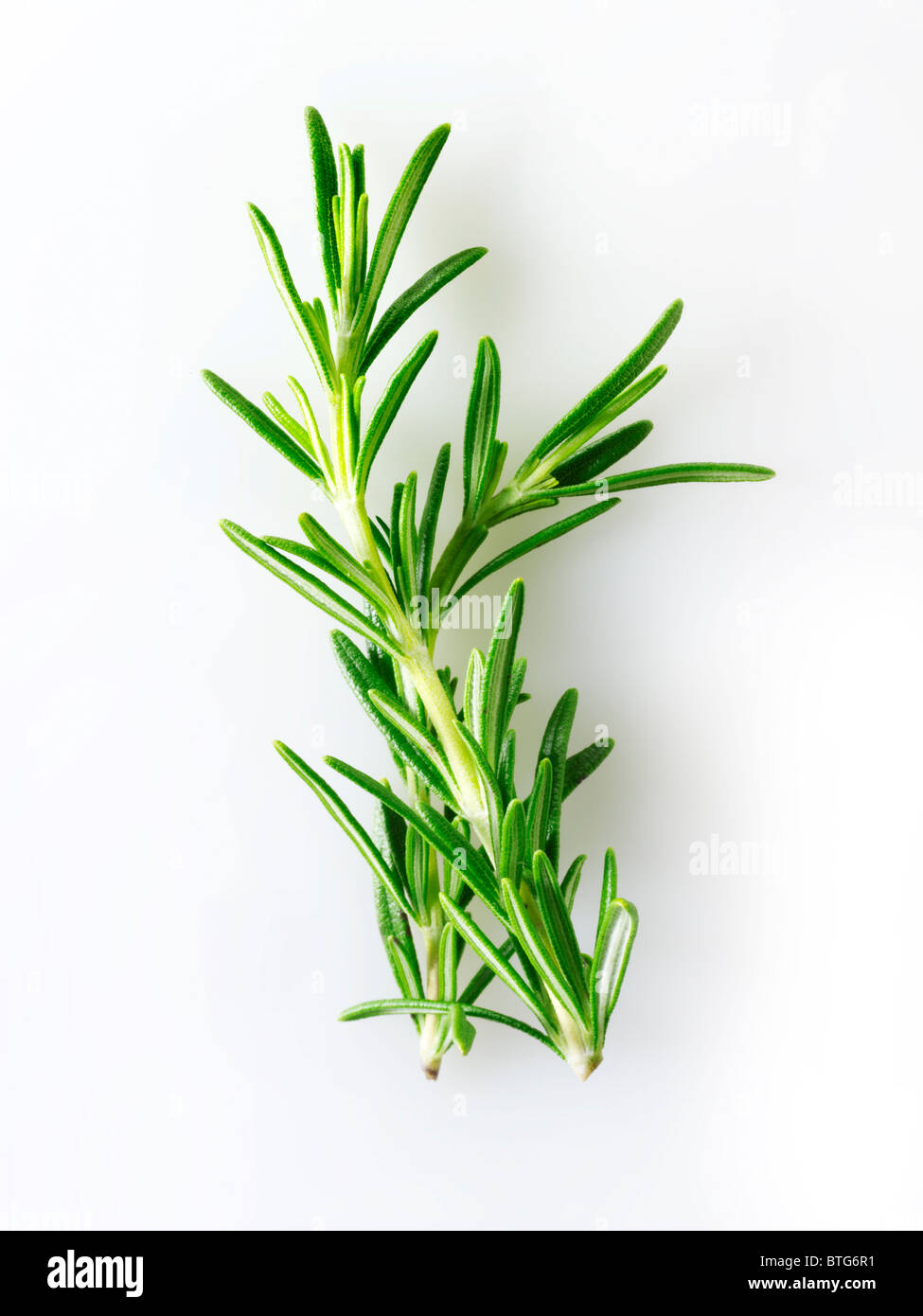 Fresh Rosemary leaves - Stock Image