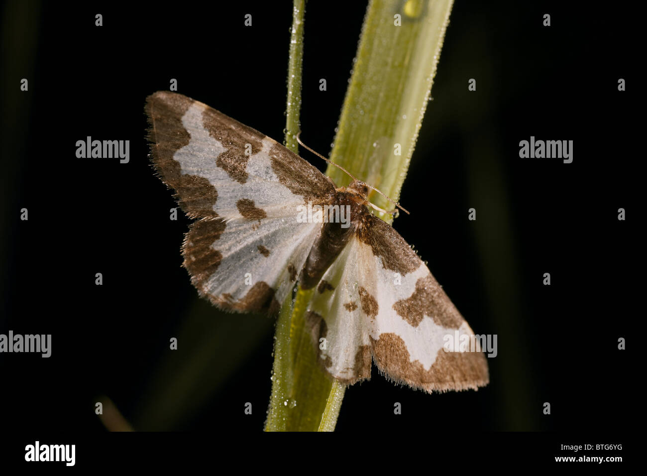 Clouded border moth, Lomaspilis marginata - Stock Image