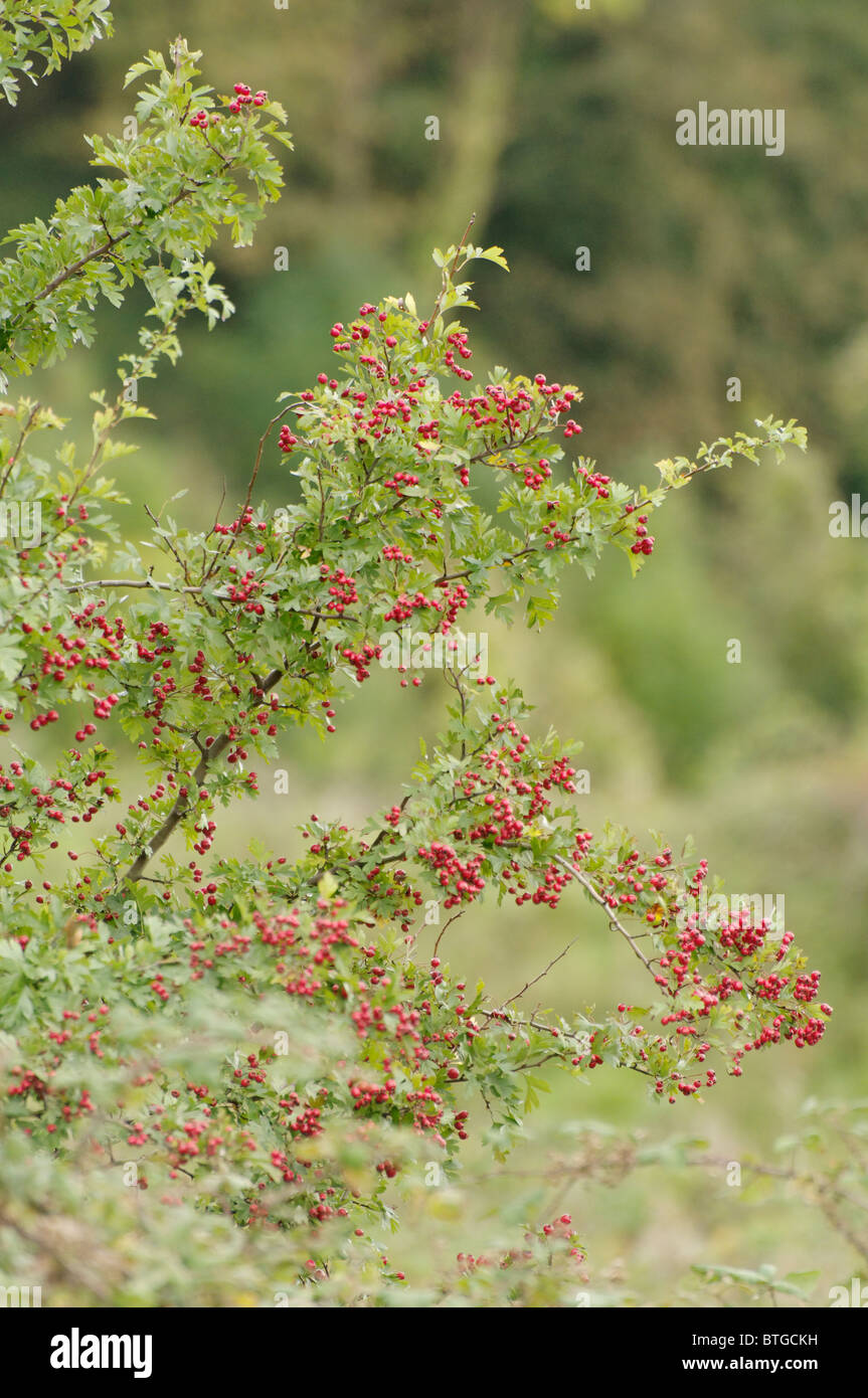 A Hawthorn tree, covered in berries, growing in the Llanberiss Pass. - Stock Image