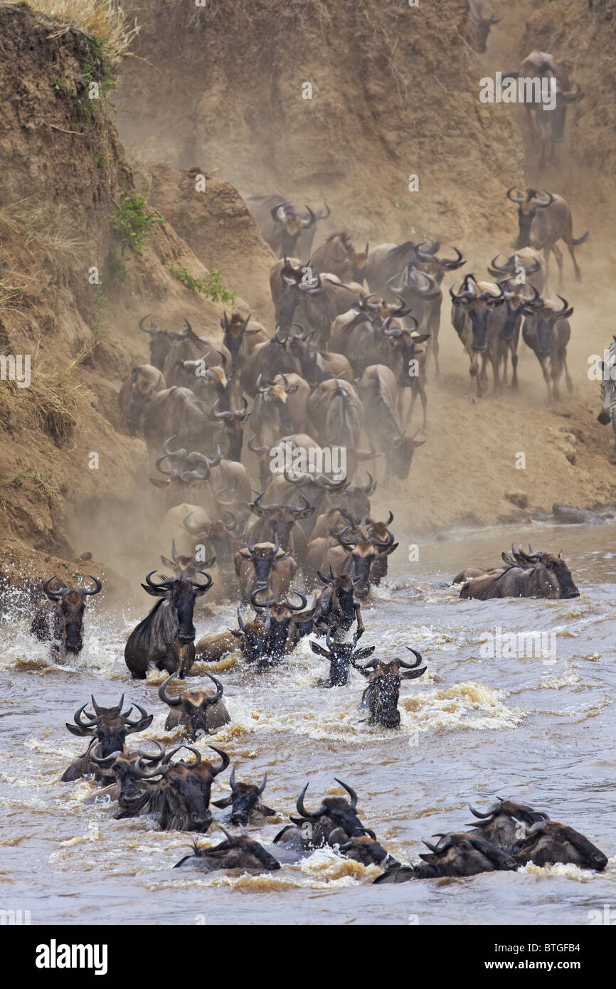 Blue Wildebeest (Connochaetes taurinus) crossing the Mara River - Stock Image
