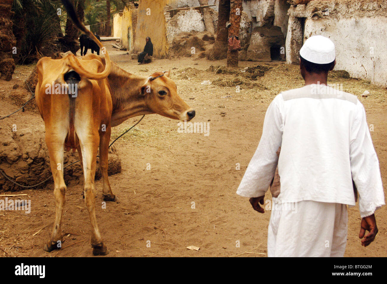 Funny Pictures About Egypt: Egyptian Man And His Funny Cow In A Nubian Village On The
