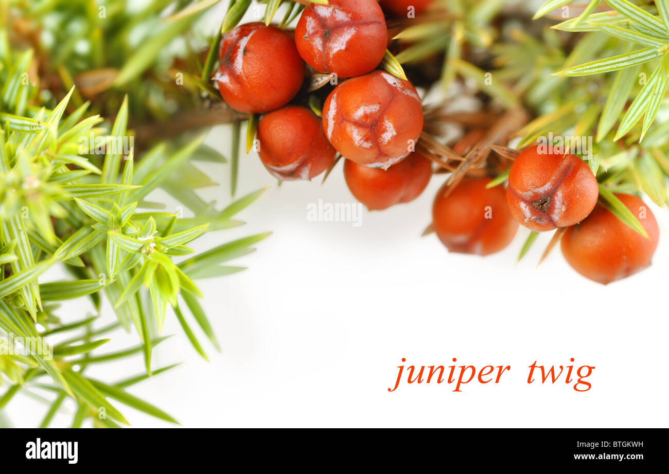 juniper twig on a white background - Stock Image