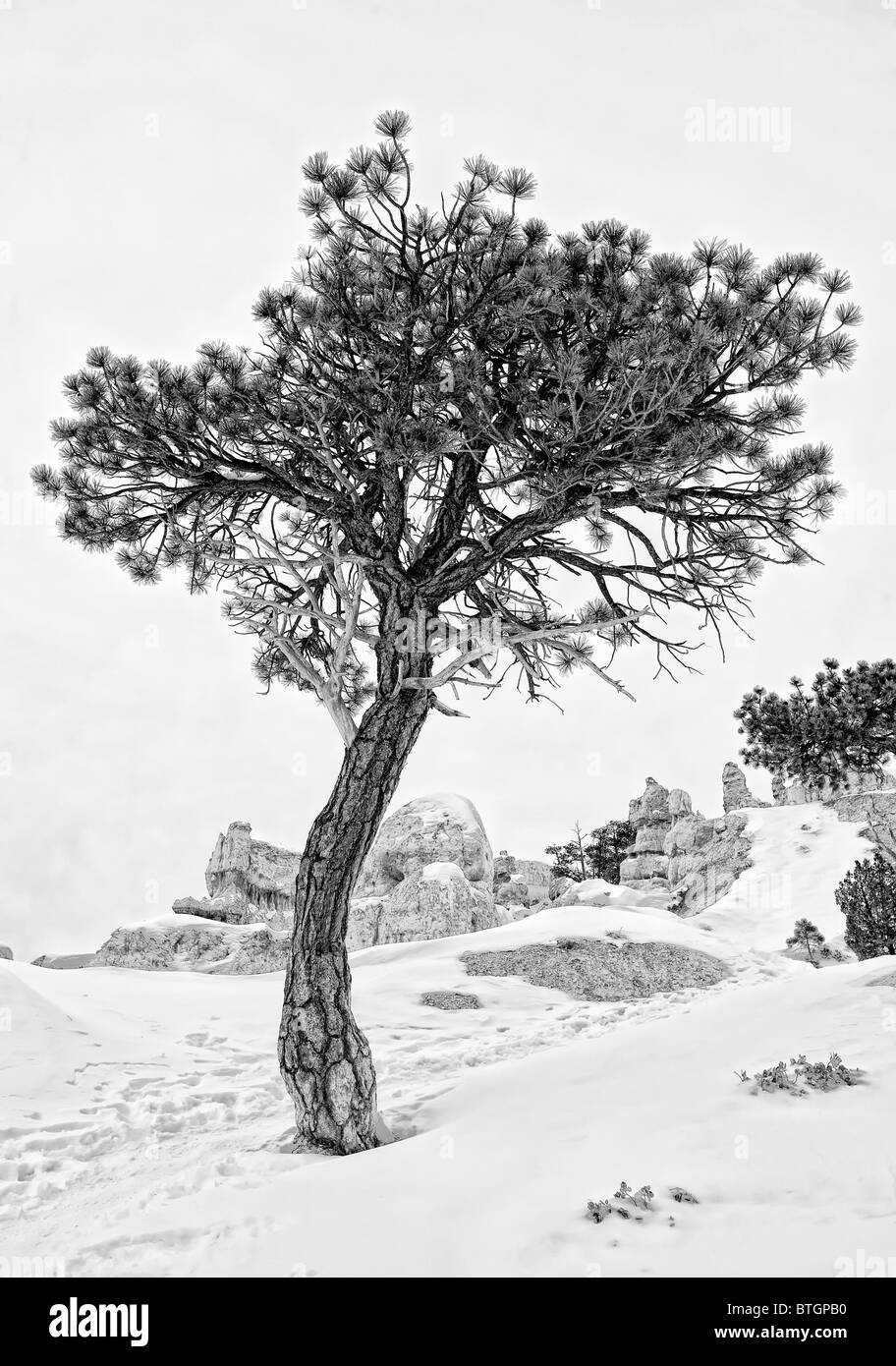 Pine tree in winter snow at Bryce Canyon - Stock Image