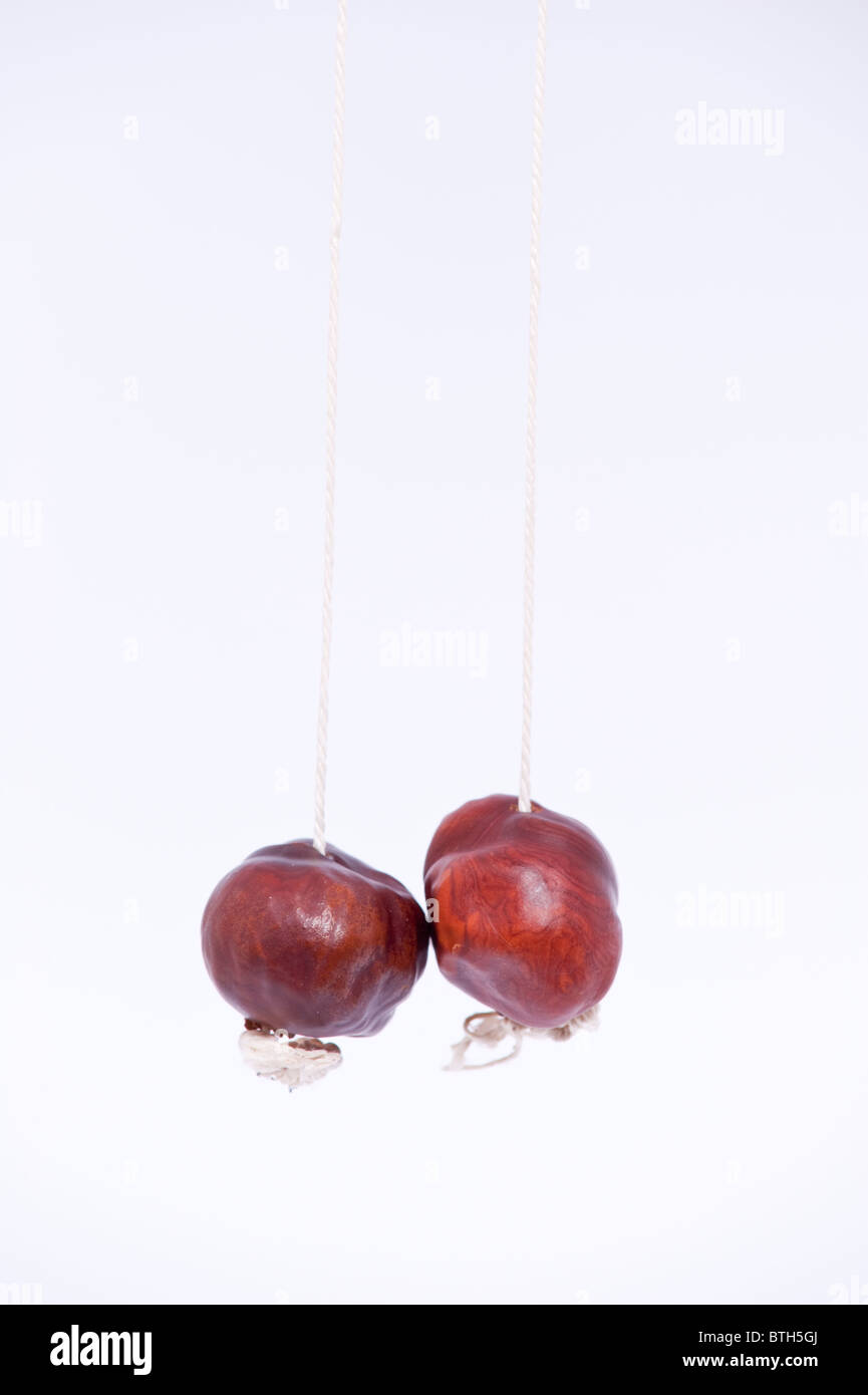 Two conkers on a white background - Stock Image
