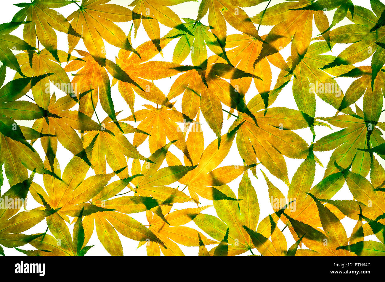 Autumn acer leaves arranged on a white background - Stock Image