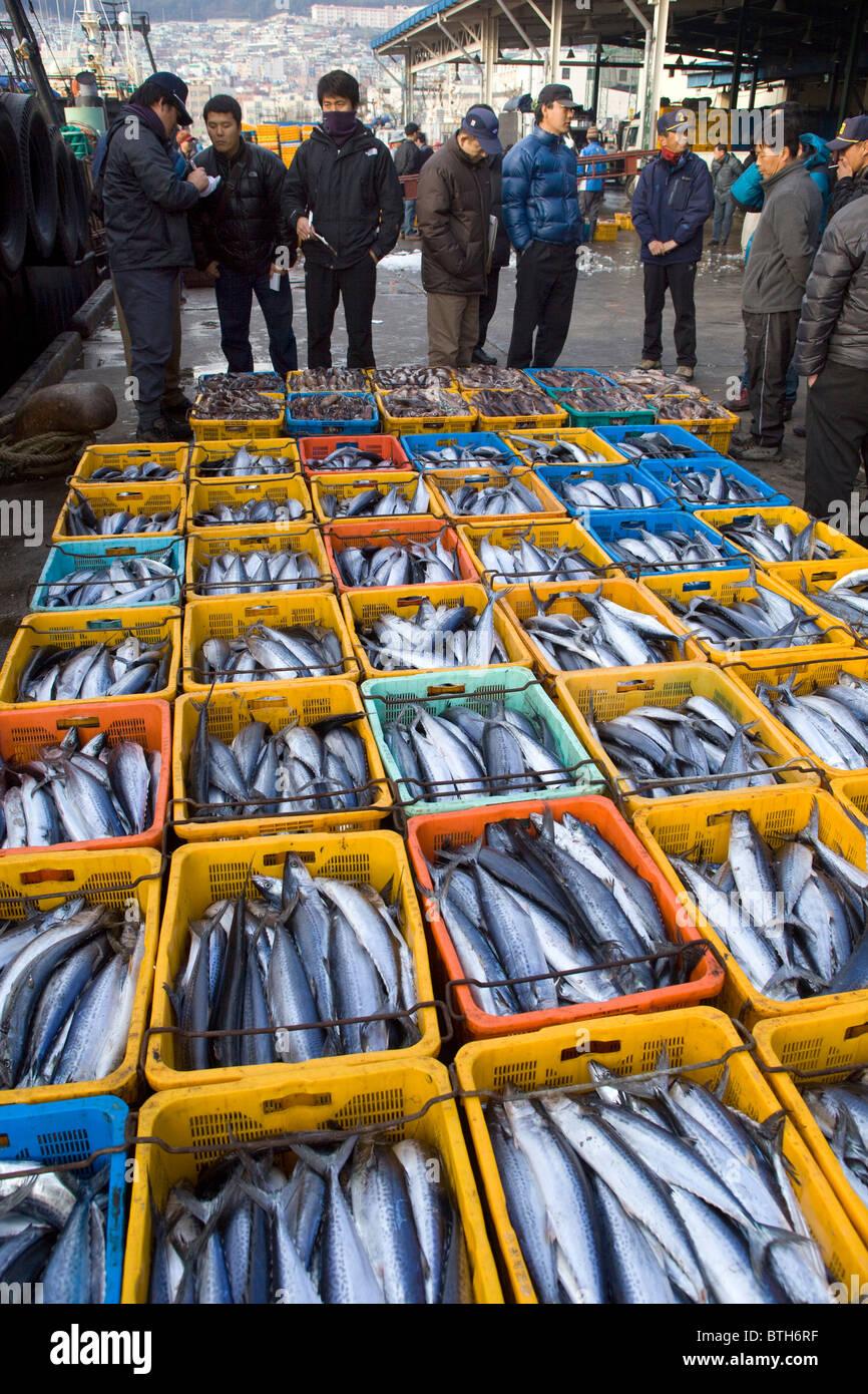 Bluefin Tuna Auction Jagalchi Fish Market Busan South Korea - Stock Image