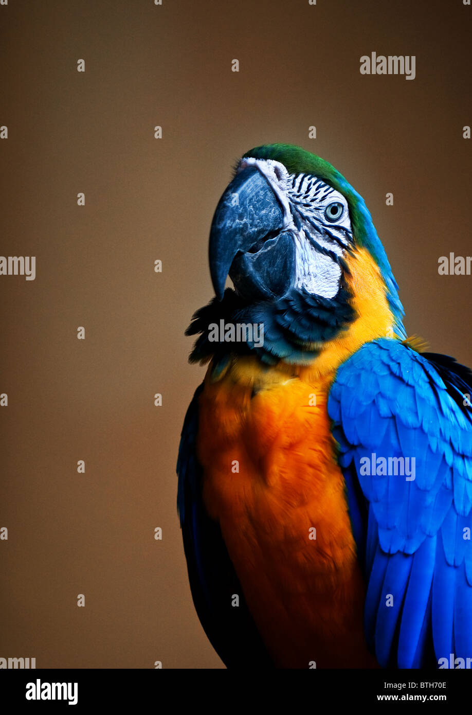 A Blue and Yellow Macaw.  Photo by Gordon Scammell - Stock Image