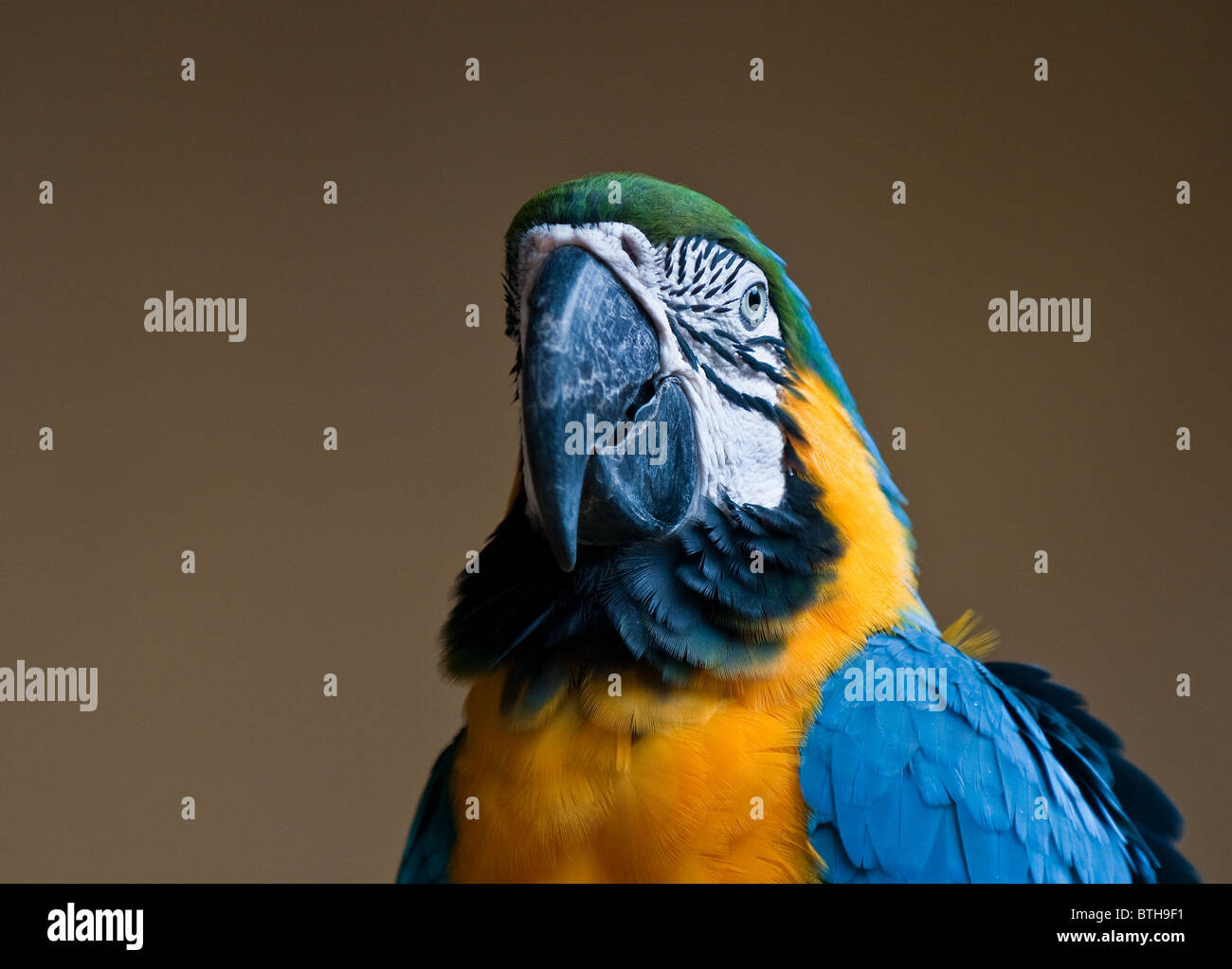 A Blue and Yellow Macaw Ara ararauna.  Photo by Gordon Scammell - Stock Image