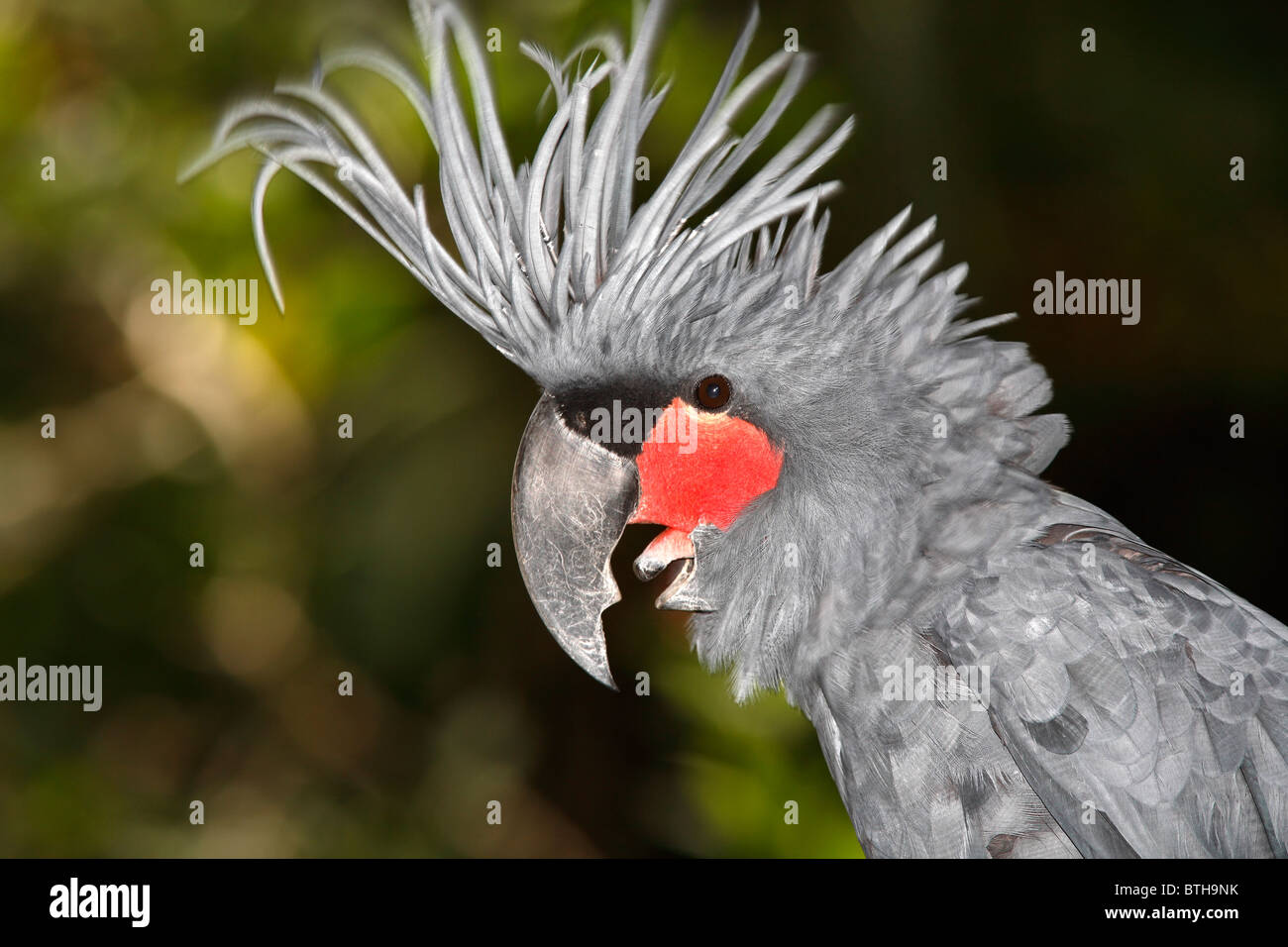 Palm Cockatoo, Probosciger aterrimus, also known as Goliath Cockatoo, is a large smoky-grey cockatoo. - Stock Image