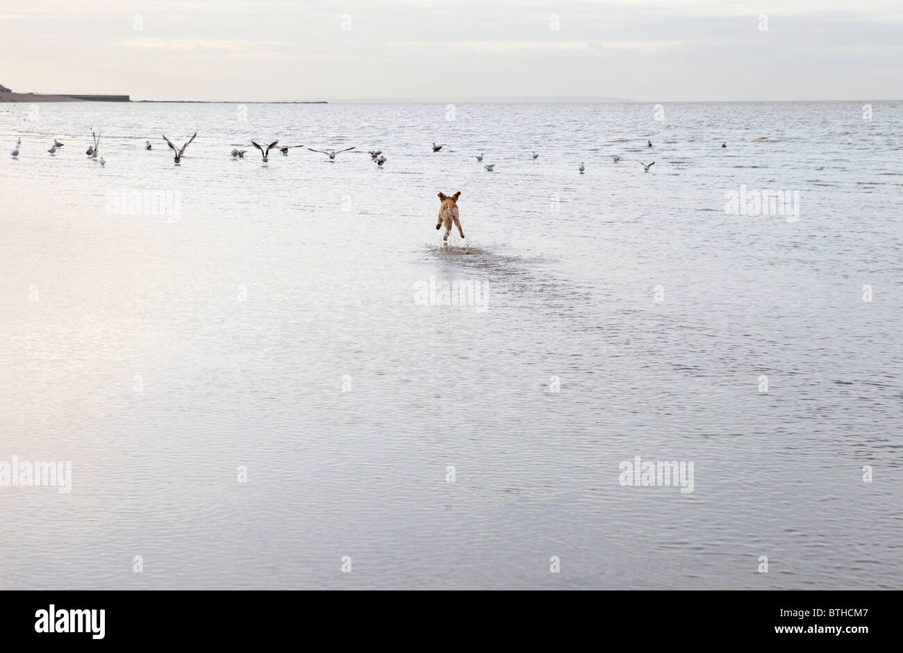 Mixed breed dog chasing birs in Herne Bat, Kent - Stock Image