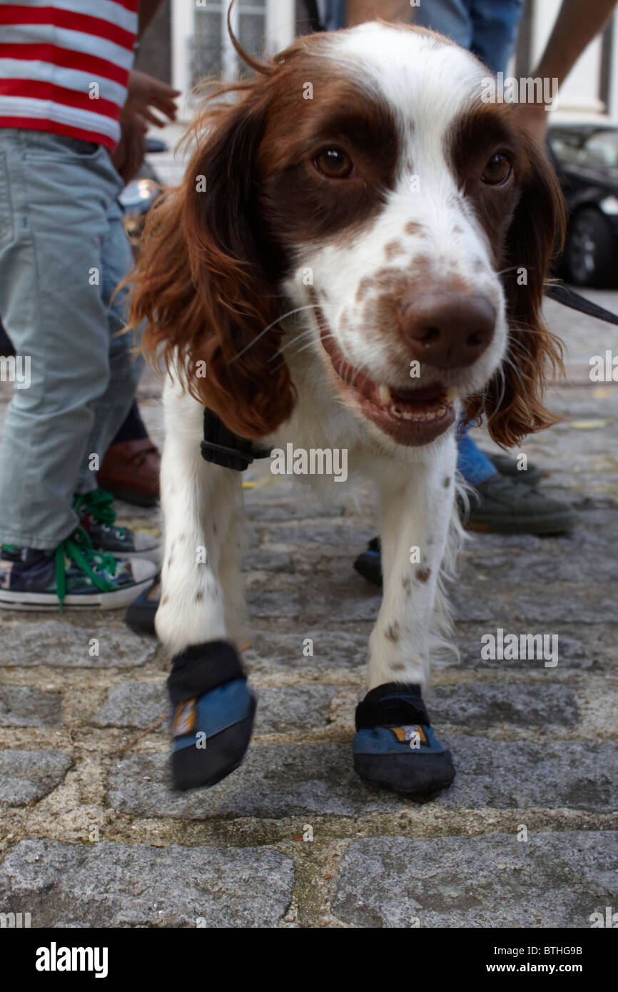Roscoe, a springer spaniel, and one of only four fire investigation dogs in use with the London Fire Brigade - Stock Image