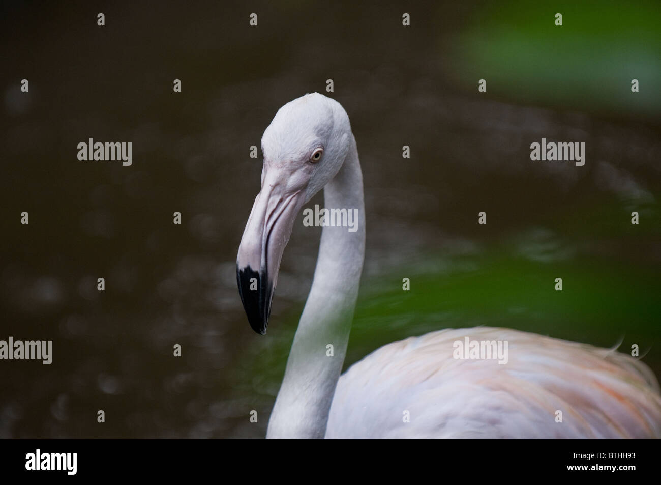 A Flamingo.  Photo by Gordon Scammell - Stock Image