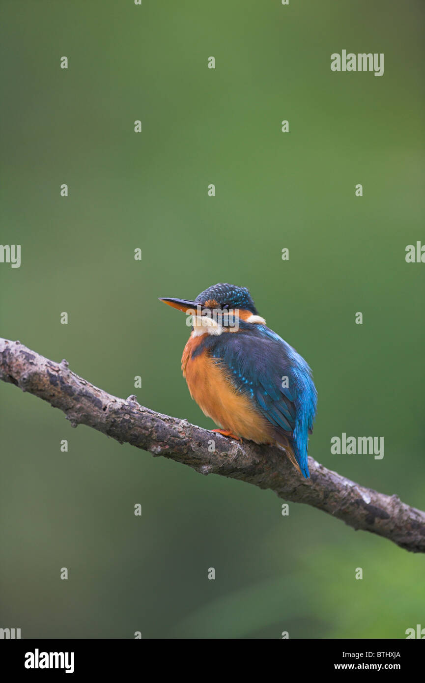 Common Kingfisher Alcedo atthis perched on branch with blurred background at Banwell River, Somerset in September. Stock Photo