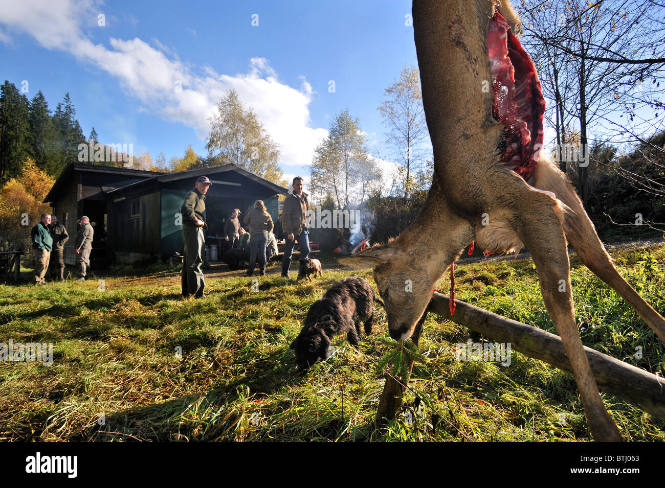 Gutted / Field dressed roe deer (Capreolus capreolus) and hunters in the Ardennes, Belgium - Stock Image