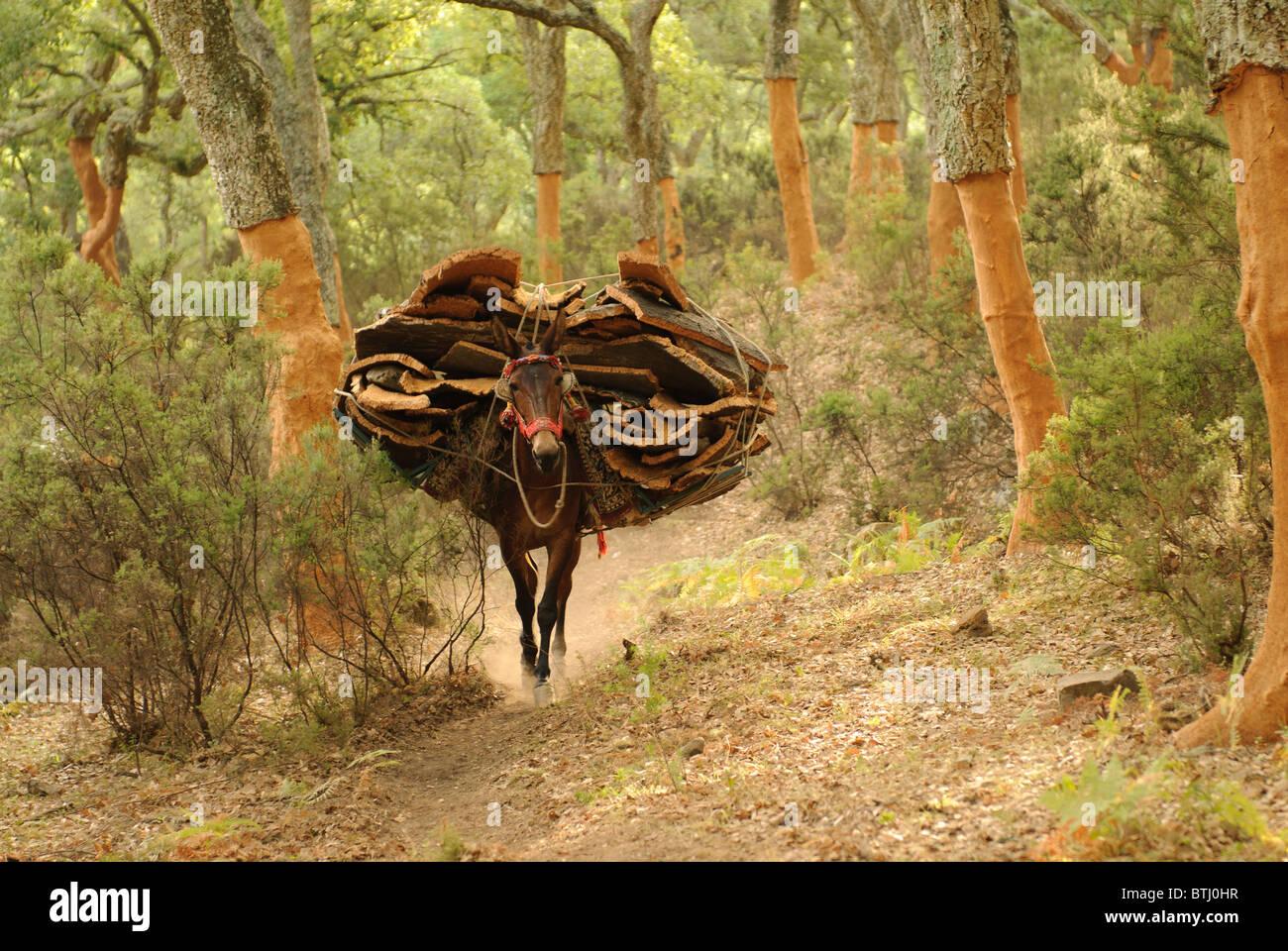 Mulo cargado de corcho entre el alcornocal Stock Photo