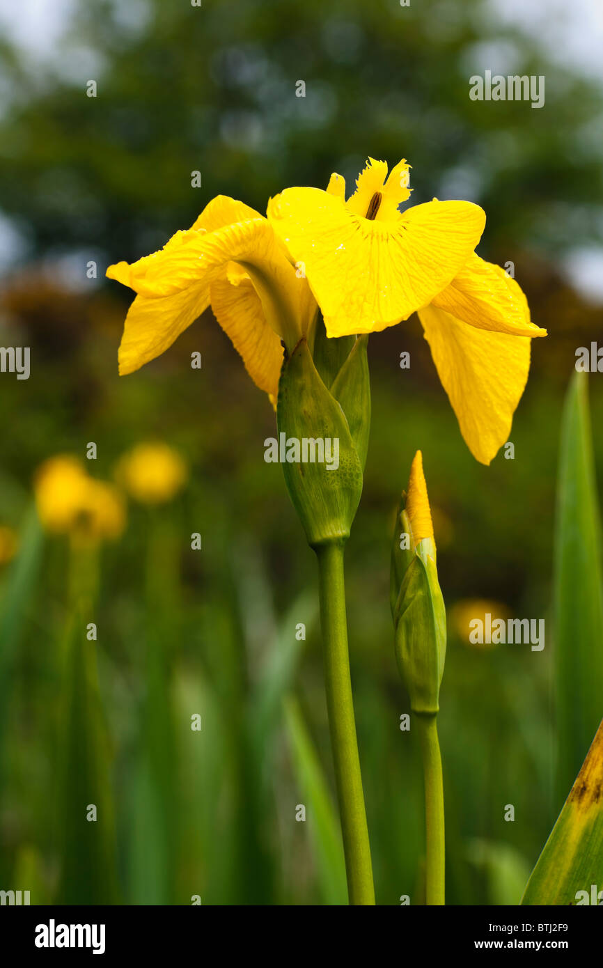 Plant, Wild flower, Yellow Flag , Iris pseudacorus Stock Photo