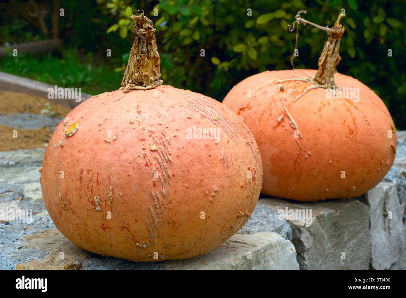 Two pumpkins sitting on a garden wall - Stock Image