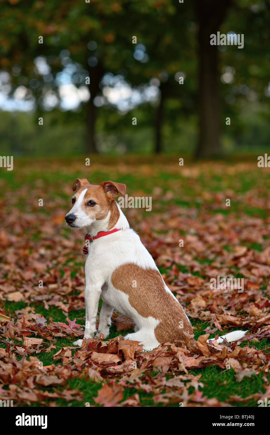 Parson Jack Russell Terrier sitting in a park among fallen Autumn leaves - Stock Image