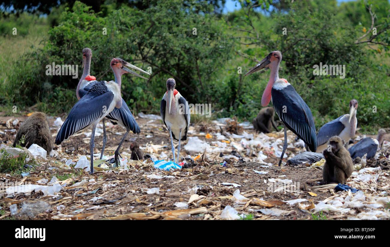 Animals at junkyard, Uganda, East Africa - Stock Image