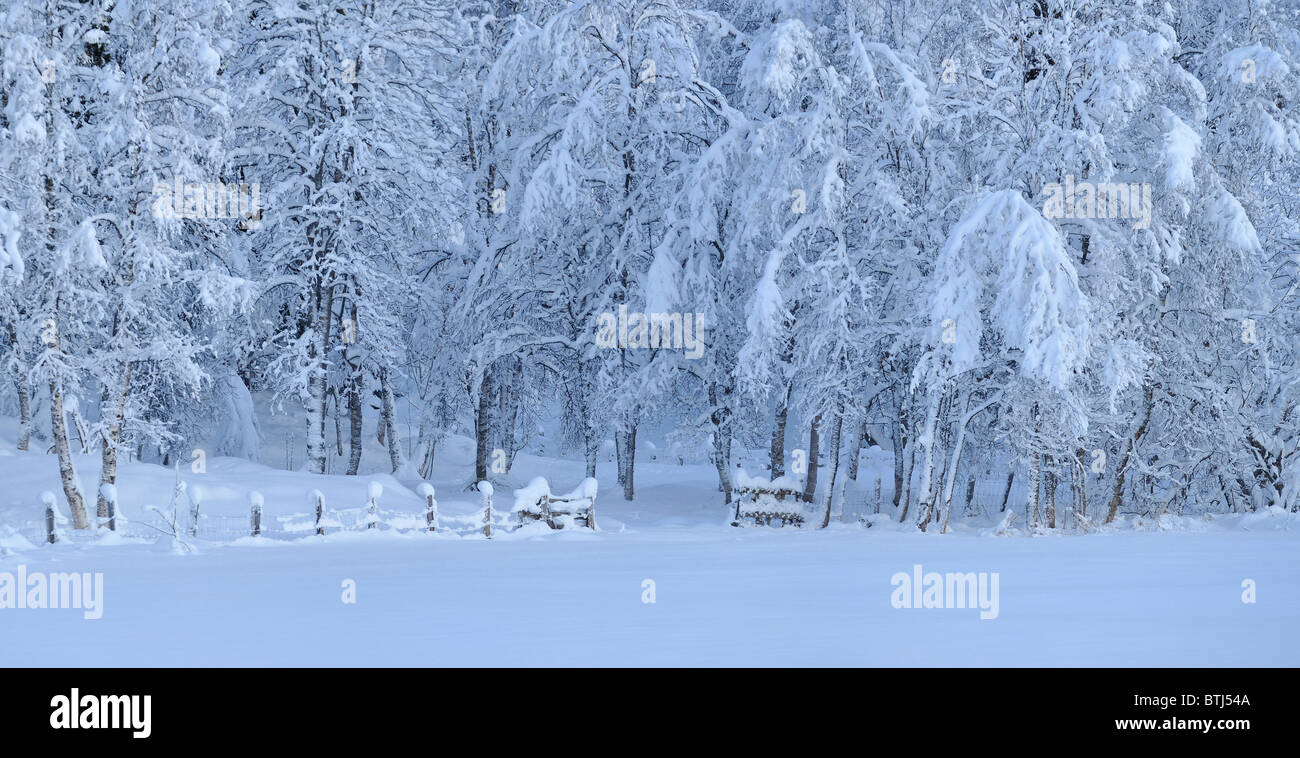 Deep, heavy snow on trees in forest. Stock Photo