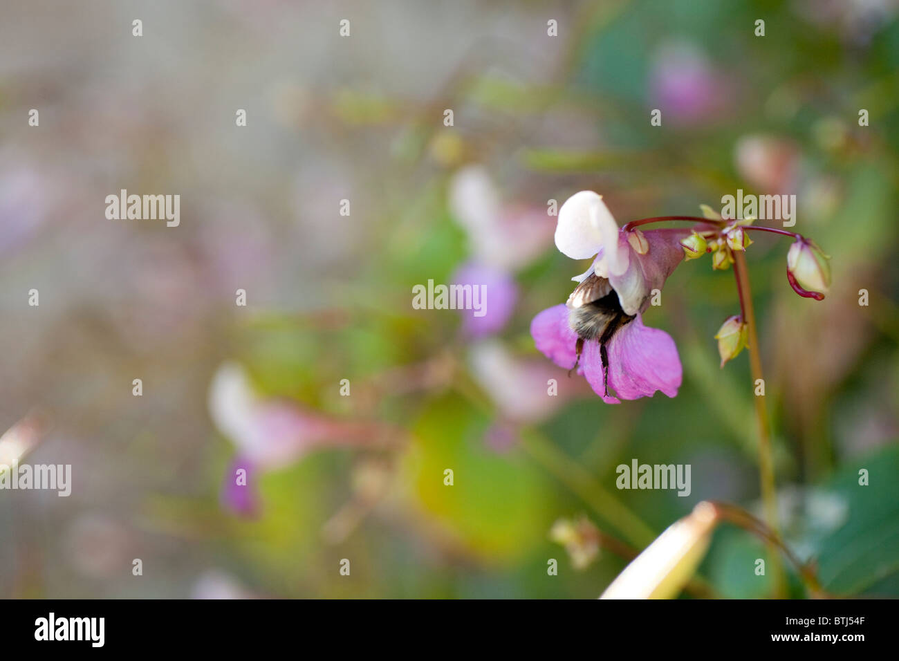 An amusing shot of a bee that didn't quite fit the flower it was visiting for pollen. It's bottom and back - Stock Image