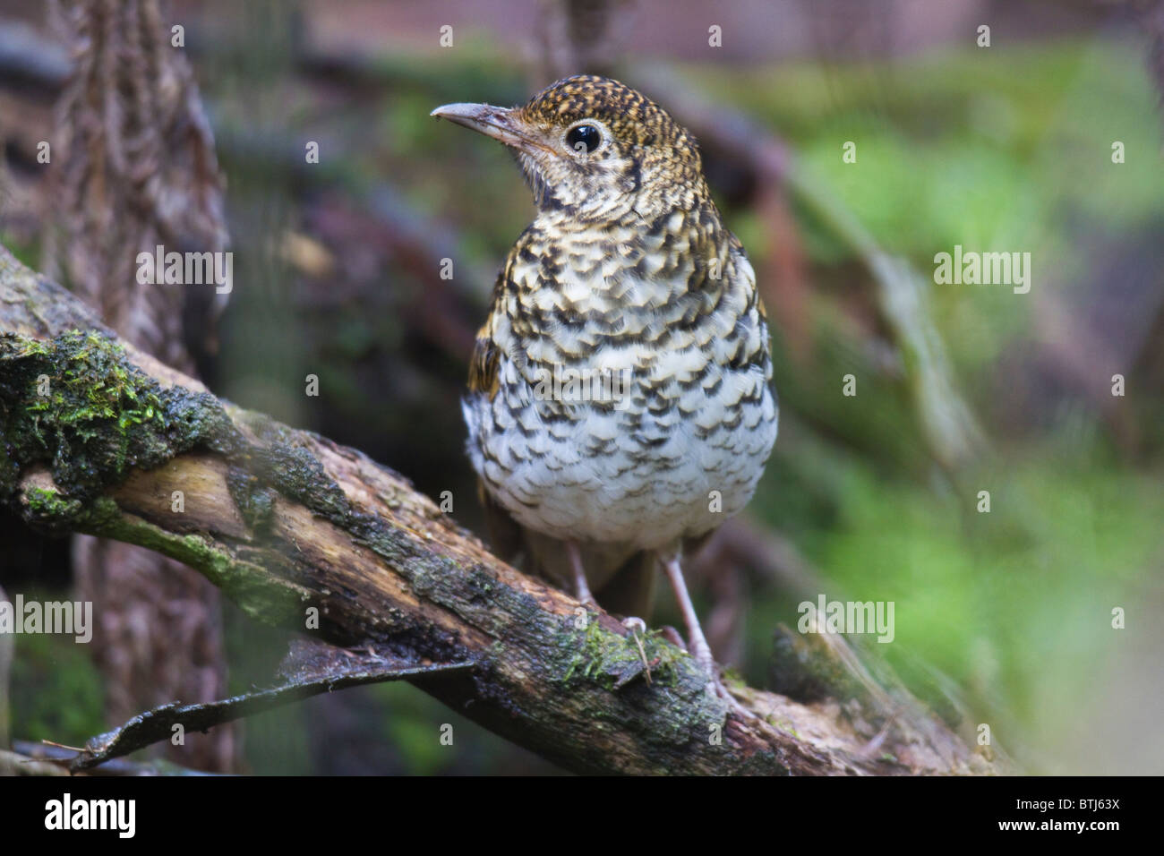 Bassian Thrush (Zoothera lunulata) Stock Photo